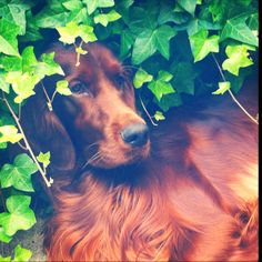 Irish Setter love. I will always have one :)