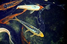 Coy Print featuring the photograph Coy by Steve McKinzie Thing 1, Fine Art America, Fish Fish, Art Prints, Wall Art, Photograph, Art Impressions, Photography, Photographs