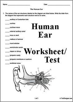 3 page Human Ear Worksheet Science Biology, Science Lessons, Teaching Science, Science Education, Ap Biology, Human Body Unit, Human Body Systems, Ear Anatomy, Human Anatomy