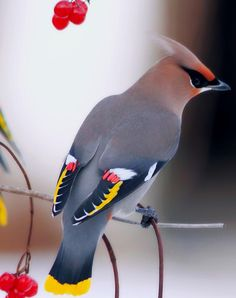 We have these beautiful Cedar waxwing birds in our yard all the time.  they love the trees, fruit and pond.