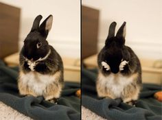 Two steps in the bunny face-washing procedure - January 29, 2013