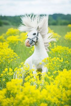 A gray pony plays in a field of flowers.