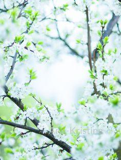 Ann-Kristina Al-Zalimi, luumupuu, luumu, plum, plumtree, tree, flowering, spring, kevät, flora, tree, flower