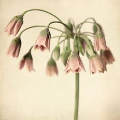 Flower Photography, Botanical Print, Fine Art Photograph, Spring Flower Photo, Botanical Wall Art, 5x5 8x8 10x10 12x12 or 16x16