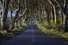 Fototapete - The Dark Hedges near Ballymoney, Co. Antrim, Northern Ireland, nature