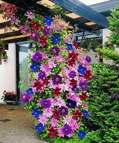 2 개 등반 클레 마티스 전구, 클레 마티스 트리 전구 정원 식물, 다년생 심기 희귀 꽃 전구 꽃 냄비