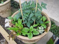 Container gardening using transplants and seeds. Cost effective way to grow veggies if you don't have a yard. #TomatoPlantsInPots #VegetablesInPots