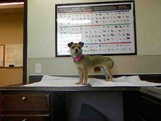 JUJUS-ID#A698645    My name is JUJUS.    I am a spayed female, brown and black Terrier.    The shelter staff think I am about 1 year old.    I have been at the shelter since Feb 19, 2013.