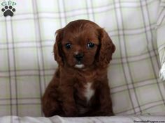 Hollie, Cavapoo puppy for sale in Manheim, Pa