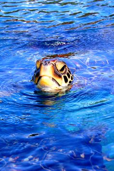 Sea Turtle 8 love this because it's so blue. Sky Sunset, Turtle Love, Ocean Creatures, Tier Fotos, Mundo Animal, Reptiles And Amphibians, Tortoises, Ocean Life, Marine Life