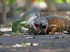 Iguanas | Flickr - Fotosharing!