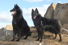 Belgian sheepdogs Belgian Shepherd, Love Me Forever, Husky, Labrador, Wolf, Best Friends, German, Animaux, Beat Friends