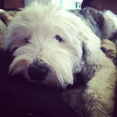handsomedogs:    Dickens - Old English Sheepdog, 7 years