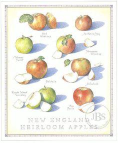 New England Heirloom Apples - John Burgoyne Studio