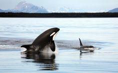 oceansoftheworld: (Photo) Orcas