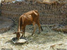 Skinny cow Pharaoh dream's interpreted by Joseph in (Genesis 41)