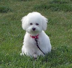 Bichon Frise. The cutest dog. We had one many years ago. He was a little hard to house train. Still cute though. Happy Dog Box will send you free toys and treats if you take a peek:) What a little white bundle of joy:)