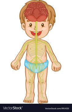 Little boy with nervous system vector image on VectorStock Senses Preschool, Preschool Science, Preschool Worksheets, Teaching Science, Education Humor, Science Education, Health Education, Physical Education, Science Lab Decorations