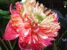 Lotus flower Photo by MariaRoosmawarty