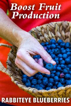 Berry Important: Pollination, Chill Hours And Plant Food Growing Blueberries, Growing Grapes, Garden Tool Shed, Garden Care, Types Of Bees, Insect Species, Berry Plants, Soil Texture, Bountiful Harvest