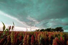 Title: In the Maize. A storm approaches a farm and a field of maize.