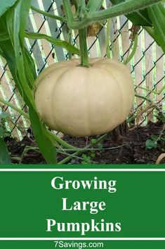 Growing large pumpkins and some of the issues you might face. #pumpkin #growpumpkin #grow #garden #growing #gardening #gardentips Organic Gardening, Gardening Tips, Vegetable Gardening, Growing Plants, Growing Vegetables, Grow Your Own Food, Raised Garden Beds, Container Gardening, Pumpkins