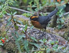 Rufous-browed Hemispingus - (Hemispingus rufosuperciliaris)   is a species of bird in the family Thraupidae. It is endemic to Peru. Its natural habitat is subtropical or tropical moist montane forests. It is threatened by habitat loss.