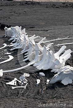 The bones of this dead whale remain untouched on a black sand beach in the Galapagos