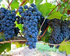 Sangiovese, Sorelle Vineyards, Lodi AVA. Photography by Randy Caparoso.