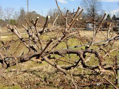 Как и любой другой кустарник, виноград нуждается в проведении обрезки каждый год. Правильная обрезка винограда обеспечивает его полноценное развитие и повышение объема урожая. Также улучшаются вкусовые качества и размер плодов. Укрывные сорта винограда обрезают поздней осенью, непосредственно перед
