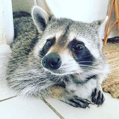"""""""I'm sorry, it's just been brought to my attention we are NOT supposed to tear open the pillows.  I was waaaaaay off..."""" #pumpkintheraccoon #raccoon #instagram #instagood #instalike #instadaily #weeklyfluff #love #pet"""