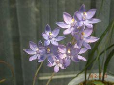 SS 洋蘭 野生蘭 テリミトラ ヌダ ロイヤルブルー_画像1 ブルーの可憐な花