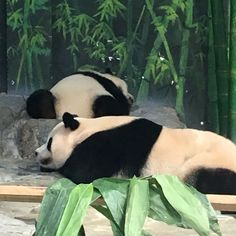 mom and cub panda nap time
