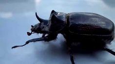 Malabarismos de um Escaravelho - Rinoceronte