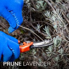 It's time to snip those roses and lavender. Let's get pruning! New Baby Products, Lavender, Roses, Gardening, Christmas Ornaments, Holiday Decor, Life, Pink, Rose