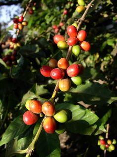 Ripening coffee beans, Arusha, Tanzania by c.skipwithsmith, via Flickr