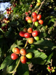 Ripening coffee beans, Arusha, Tanzania by c.skipwithsmith, via Flickr