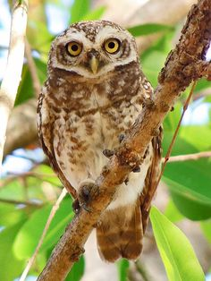 The spotted owlet (Athene brama) is a small owl which breeds in tropical Asia from India to Southeast Asia. A common resident of open habitats including farmland and human habitation, it has adapted to living in cities. They roost in small groups in the hollows of trees or in cavities in rocks or buildings. It nests in a hole in a tree or building, laying 3–5 eggs. The species is absent from Sri Lanka, although the birds are found across the Palk Straits, just 30 kilometres away at…