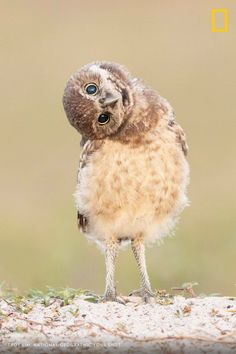 Curiosity Photo by Troy Lim — National Geographic Your Shot Burrowing Owl, Nature Images, National Geographic Photos, Your Shot, Love Birds, Natural World, Curiosity, Amazing Photography, Traveling By Yourself