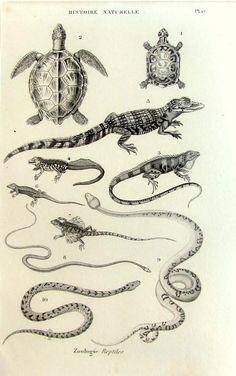 1852 Antique reptile engraving original vintage reptiles