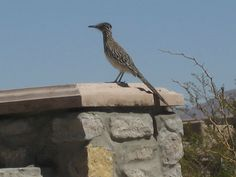 Roadrunner at back fence here in Las Cruces, NM