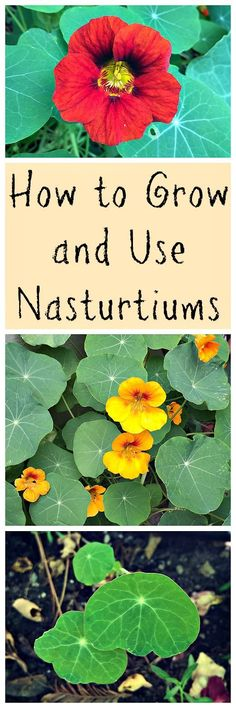Nasturtiums are an easy to grow, edible, and medicinal plant that is great for your garden!