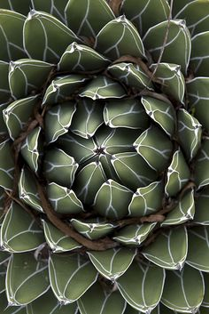 fabulous succulent photo by blue corgi - makes me think of some sort of ancient reptile......