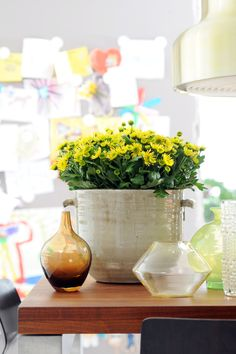 Yellow Chrysanthemum plants in the home