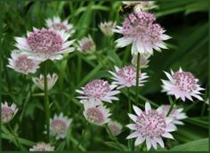 Astrantia. Front of border x 2. Part shade. Should be middle of border in part shade. Perennial. H4.