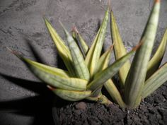 Sansevieria Francisii Variegated