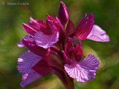 Wild Orchid / Butterfly Orchid (Orchidea Farfalla)