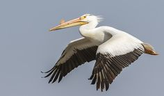 The American White Pelican is a large amazing bird i love to watch and photograph.