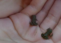 Tiny frogs