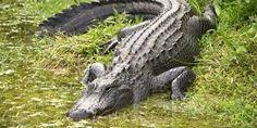 Amazonia :Bosques Inundados  E Inundables  Caiman  Caiman crocodilus es una especie que posee una amplia distribución, desde el sur de México, Honduras, Nicaragua, Guatemala, El Salvador, Costa Rica, Panamá, Colombia (océano Pacífico), Ecuador, Perú, Bolivia y en algunos estados de Brasil. Este caimán ha sido introducido en Cuba, Puerto Rico, Antillas Menores